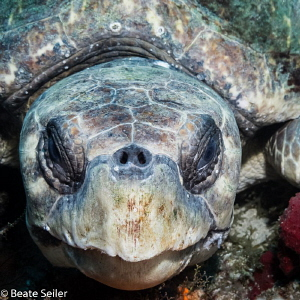 Loggerhead turtle by Beate Seiler